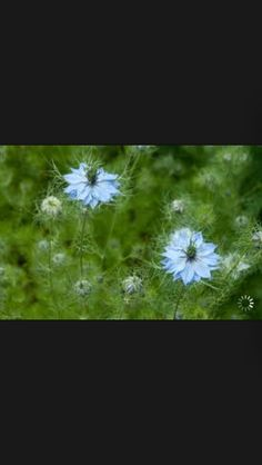 Nigella blue, this is a lovely texture and very delicate and wild