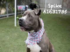 SPIKE is an adoptable Staffordshire Bull Terrier searching for a forever family near Los Angeles, CA. Use Petfinder to find adoptable pets in your area.