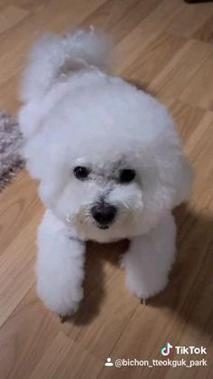 Cortes Poodle, Marvel, Dogs, Animals, Animales, Animaux, Pet Dogs, Doggies, Animal