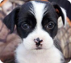 Newark, DE - Boston Terrier/Shih Tzu Mix. Meet Cookie Crisp, a puppy for adoption. http://www.adoptapet.com/pet/13684859-newark-delaware-boston-terrier-mix