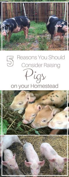If you are looking to bring more animals to your farm, then I encourage you to consider my piggy friends...Here's why you should add pigs to your homestead.