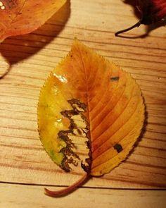 久しぶりに朝のお参り、 静かな神社にひとり 紅葉した落ち葉を拾う