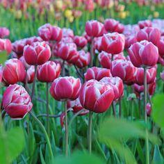 'Drumline' ist eine wunderschön geformte, gefüllte Tulpe. Pflanzzeit ist im Herbst - online erhältlich bei www.fluwel.de