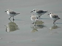 Shore Birds....love to watch the little shore birds run back and forth in the surf.