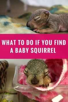 Here are some tips to keep in mind if you find a baby squirrel.