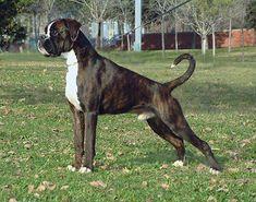Boxer Americano, Animals And Pets, Cute Animals, Boxer Love, Fur Babies, Puppies, Boxers, English Bulldogs, Google