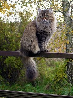 """( Siberian Cat) * * """" Yoo knows it gonna beez a bad day whens notz one bird comes yer way."""""""