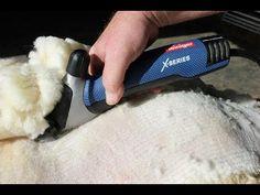 Koyun nasıl kırkılır? Böylesini Görmediniz!