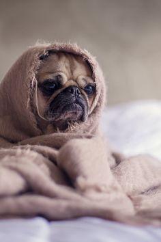 WINTER TIME .......... #cute pug puppy dog