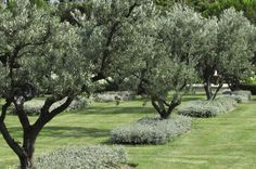 Olive trees aligned.  Quand les oliviers s'alignent (cotemaison.fr)