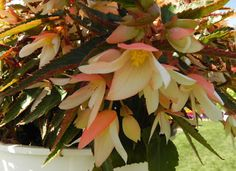 Begonia Bossa Nova from Floranova - a great write up on the Petal Talk website. Hanging Baskets, Plants, Flowers, Large Containers, Spring, Begonia, Bloom, Garden