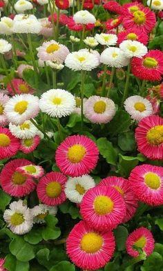 BELLIS PERENNIS. Beautiful Flowers, Tree, Flowers, Bellis Perennis, Nature, Garden, Daisy, Plants