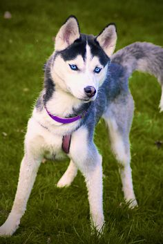 Blue eyed husky so freaking cute Beautiful Dogs, Animals Beautiful, Cute Animals, Husky With Blue Eyes, Alaska Dog, My Husky, Snow Dogs, Dog Id, Cute Creatures