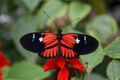 https://flic.kr/p/LrH9Hm | H. melpomene plesseni x malleti | Ecuador, mariposario in Mindo.  There are zones where hybrids are easily obtained, such as the hybrid zone between races of Heliconius melpomene in Eastern Ecuador.