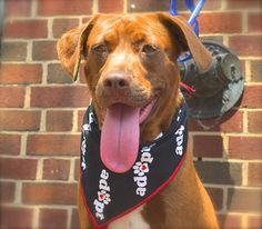 Operation Paws for Homes | Beautiful Breezy | Chesapeake Bay Retriever Mix #dogs