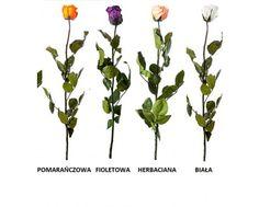 TOTALNA NOWOŚĆ NA POLSKIM RYNKU! WIECZNIE ŻYWA RÓŻA / PRZESYŁKA DARMOWA! - IT | CYTRUSY - Internetowa sprzedaż roślin doniczkowych