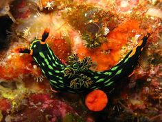 Beautiful Nudibranchs: Colorful Sea Slugs <3