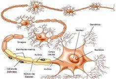 .:: Tecido muscular - Só Biologia ::.