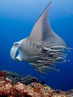 Un buen ejemplo de mutualismo: los peces pequeños se alimentan de los parásitos que posee la manta raya, quedando esta desparasitada
