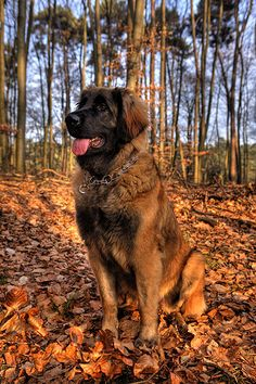 Leonberger... I will own you one day!
