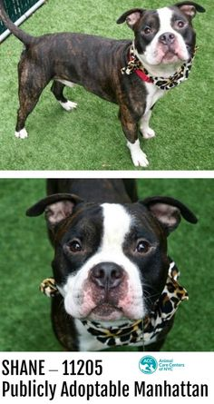 11.13.17 SHANE At Risk SHANE – 11205 Publicly Adoptable - Manhattan 1/13/17: **CAN BE PUBLICLY ADOPTED** A volunteer writes: Shane is adorable in his ... - Taylor Easton (Please Make Adoption Your Only Option) - Google+