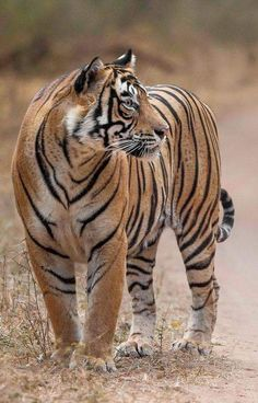 The true King of the Big Cat family, the fully grown tiger is bigger, faster and stronger than the African lion. Beautiful Cats, Animals Beautiful, Cute Animals, Tiger Pictures, Animal Pictures, Big Cats, Cute Cats, Chat Lion, Tiger Love
