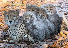 A Cheetah mom at Burgers' Zoo in the Netherlands has her paws full with a litter of six frisky cubs.