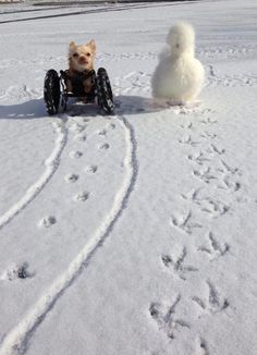 This Two-Legged Chihuahua And Fluffy Chicken Are The Cutest Best Friends In The…