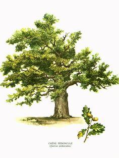 1967 Oak Tree Print Vintage Botanical Illustration Wall Art Home Decor Oak Tree Art Print - Oak Tree Tree Tattoo Back, Oak Tree Tattoo, Botanical Drawings, Botanical Prints, Illustration Botanique Vintage, Oak Tree Drawings, Book Christmas Tree, Oak Tree Wedding, Live Oak Trees