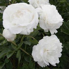 Pivoine lactiflora Night Garden, Moon Garden, Beautiful Gardens, Beautiful Flowers, Garden Bird Feeders, Pink And White Flowers, White Peonies, White Roses, Bloom Baby