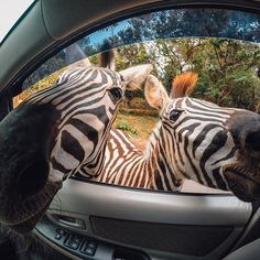 Photo of the Day! When you hold the carrots, you're the most popular kid at the zoo. #: Charly Huang. #GoPro #Zebra