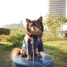 💚💛Hello☺︎💚💛 #コロ助#チワワ#ロングコートチワワ#愛犬#犬#犬バカ部#チョコタン#わんこ#ワンコ#チワワ部#ちわわ部#カメラ女子#写真好きな人と繋がりたい#池尻大橋#LUMIX#gf7#dogstagram#chihuahua#pet#dog#dogpic#instdog#instpet#love#family#개#치와와#귀여#Japan#tokyo