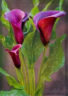 Calla Lillies - Beautiful!: