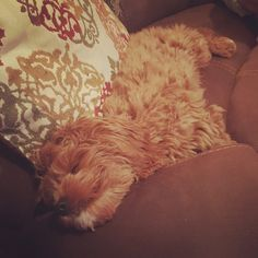 Zonked  Lucy Lou Cavapoo Puppy