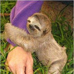 My dream is to pick up a baby sloth and hug it and kiss it and snuggle with it and love it