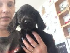 Eight week old springer pups with unusual markings litter of 6 boys and 3 girls. mum is kc working stock black and white springer dad is liver field s...