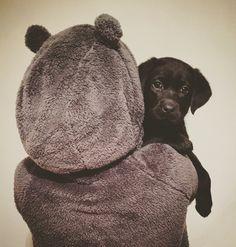 Meet my beautiful black lab puppy
