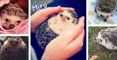 Having a pet hedgehog!