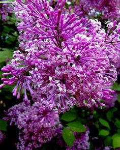 One 1 Gal Size Dwarf Reblooming Lilac Bloomerang Last Chance Week End on eBay!