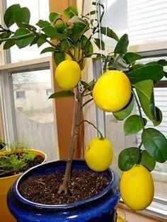 Комнатный лимон советы по уходу и выращиванию