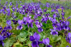 V come Violetta Sweet Violets, Aromatic Herbs, Woodland Garden, Flower Fashion, Light Shades, Natural Wonders, Pansies, Flower Art, Herbalism