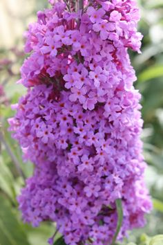 Buddleja 'Buzz™ Lavendar' Clusters of fragrant, tubular flowers cover compact shrub June-Oct. Attractive foliage is green w/white, felted undersides. Grows 2-3 feet high & wide, perfect for container or small garden. Attracts butterflies & hummingbirds. UK's Thompson & Morgan® created dwarf Butterfly Bush Series. These Buzz varieties are 1/3 size of standard varieties, maintain elegance & large, shapely flowers of  standard types. Deadhead. Sun or semi shade avg. water