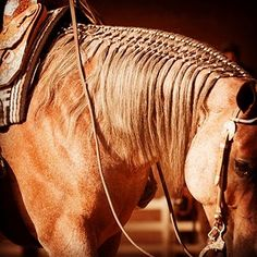 In recent years, the horse show industry has been witness to a growing trend. Long, flowing manes have become a common sight, and not just in the western pleasure and ranch riding arenas. Horse Mane Braids, Horse Hair Braiding, Cute Horses, Pretty Horses, Beautiful Horses, Ranch Riding, Horse Clipping, Western Pleasure Horses, Les Reptiles