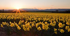 Field of daffodils just off the A90. Dundee and Angus, Scotland. Credit: Alan Millarvie.