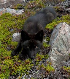 "Black fox: ""Do You Love Me ??"" by Judylynn Malloch"