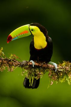 """""""Keeled-bill Toucan"""" by Myer Bornstein"""