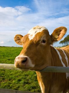 You looking at me?  #cow