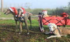 Christmas Greyhounds