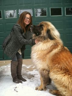 The Maine Coon of the dog world (hahaha).  Meet Simba - a Leonberger.