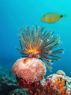 | Feather Star and Striped Trigger Fish